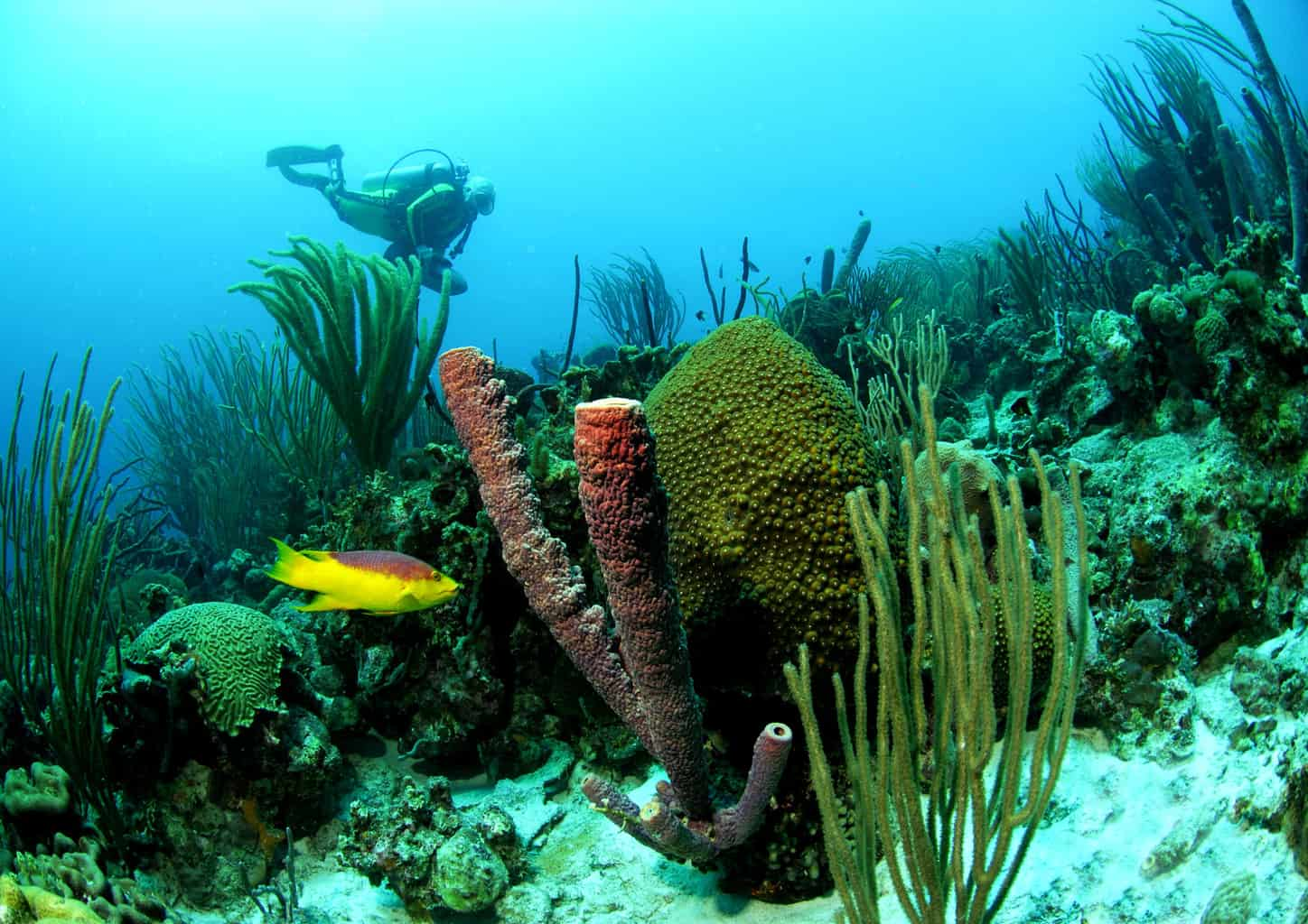 Bonaire Diving Holiday - Diver on Reef with Spanish Hogfish