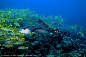 Cocos Liveaboard diving holiday Sea Hunter Spotted Eagle Ray Bloom