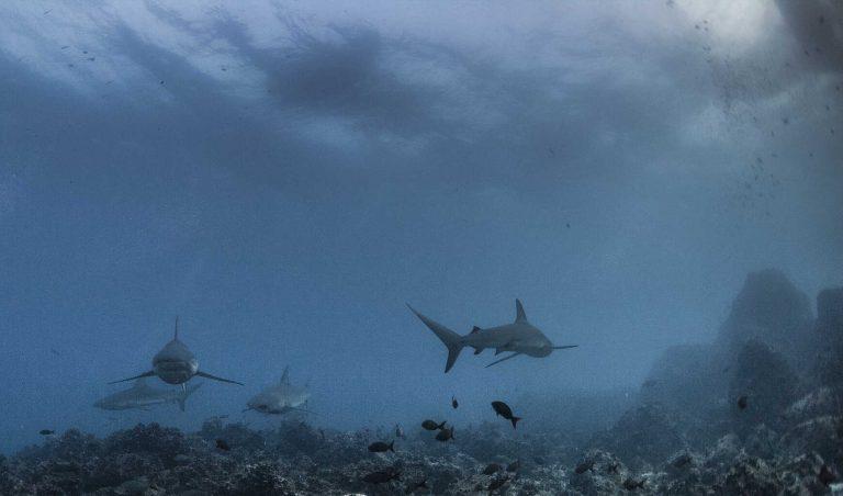 Galapagos-Liveaboard-Diving-Galapagos-Sharks
