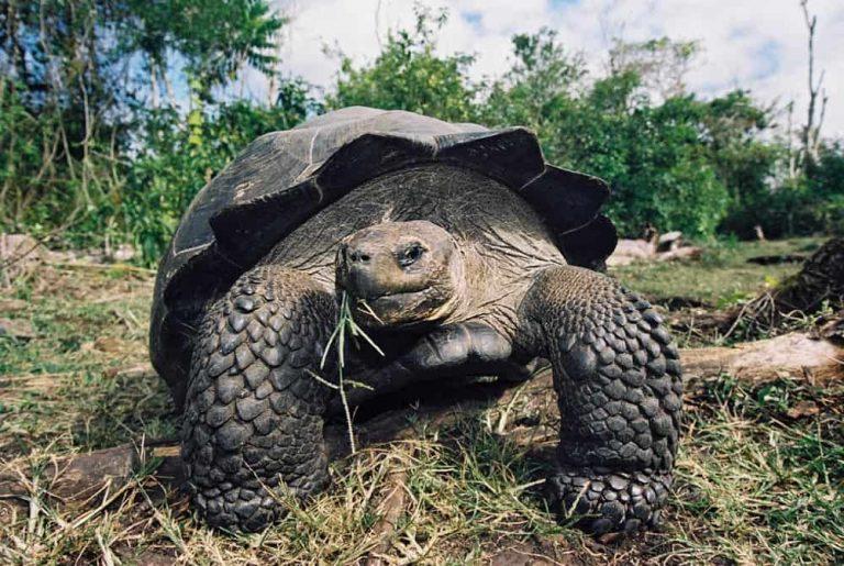 Galapagos-Tortoise-Galapagos-Diving-Holiday