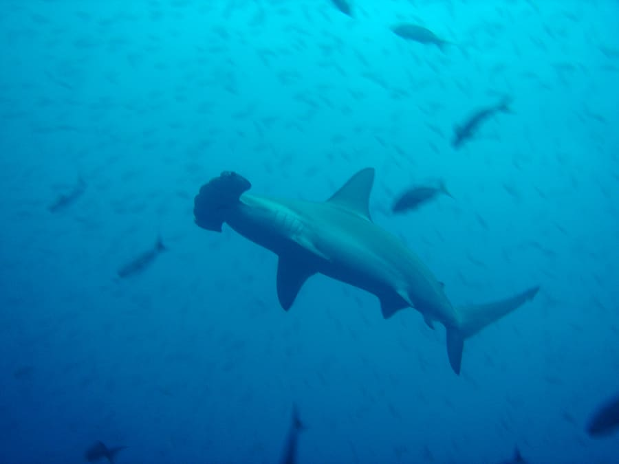 Galapagos Liveaboard Diving Hammerhead Print
