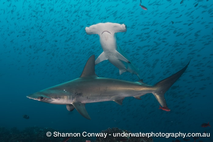 Galapagos Liveaboard Diving Hammerheads