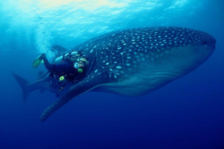 Galapagos Liveaboard Diving WhaleShark Amos Nachoum