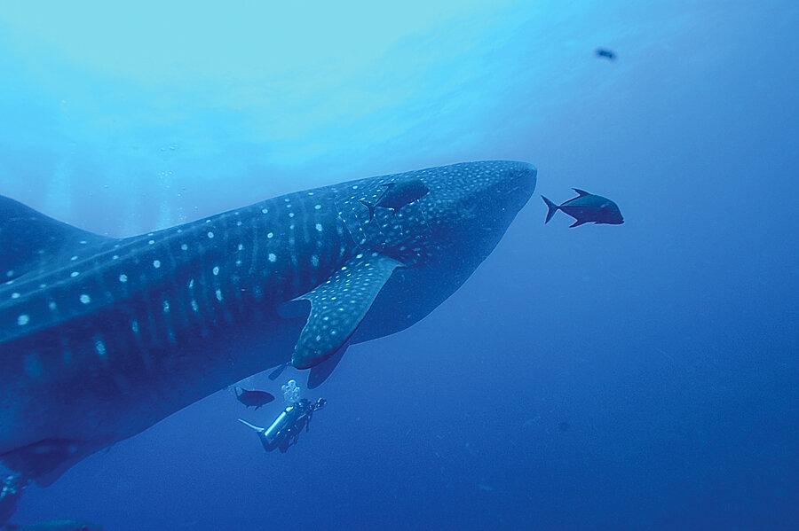 Galapagos Liveaboard Holiday Humboldt Explorer WhaleShark