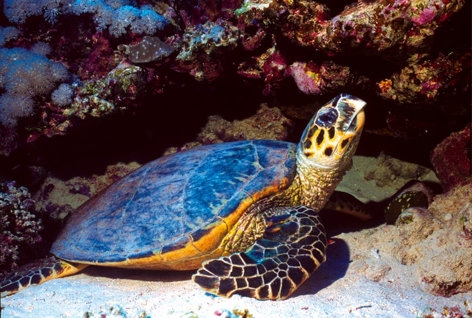 Indonesia Bali Diving holidays Turtle