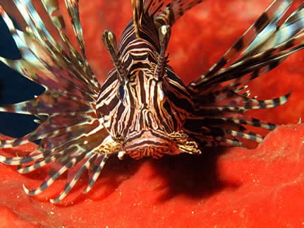 Indonesia Diving Holiday North Sulawesi lion fish