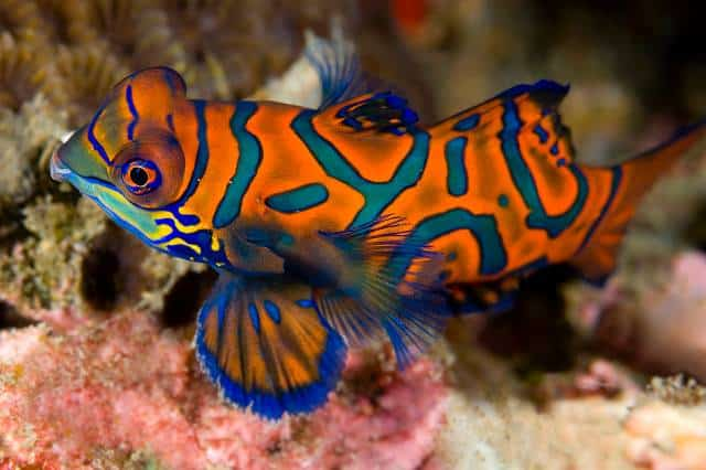 Indonesia liveaboard Diving holidays Mermaid colourful fish