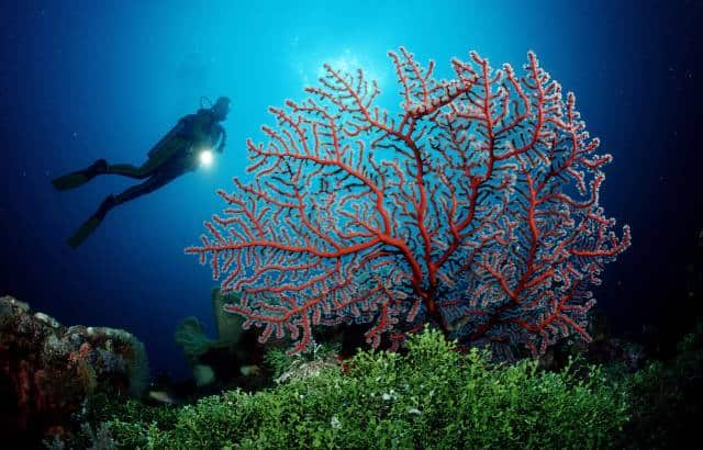 Indonesia liveaboard Diving holidays Mermaid one diver and coral