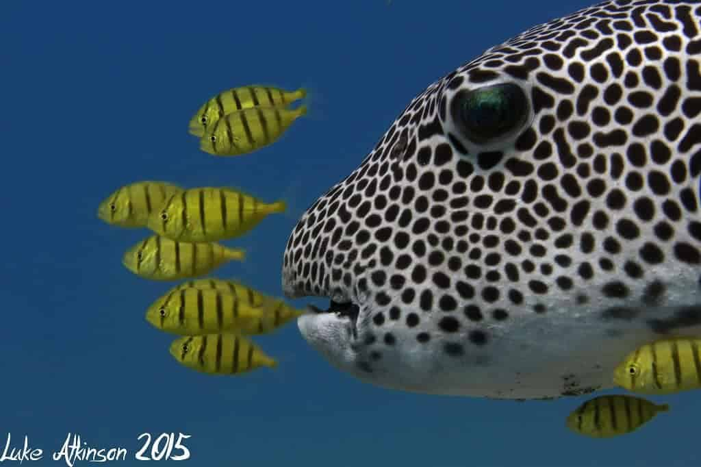 Indonesia liveaboard Diving holidays Puffer Pilots