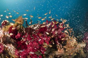 Indonesia liveaboard Diving holidays red coral and fish