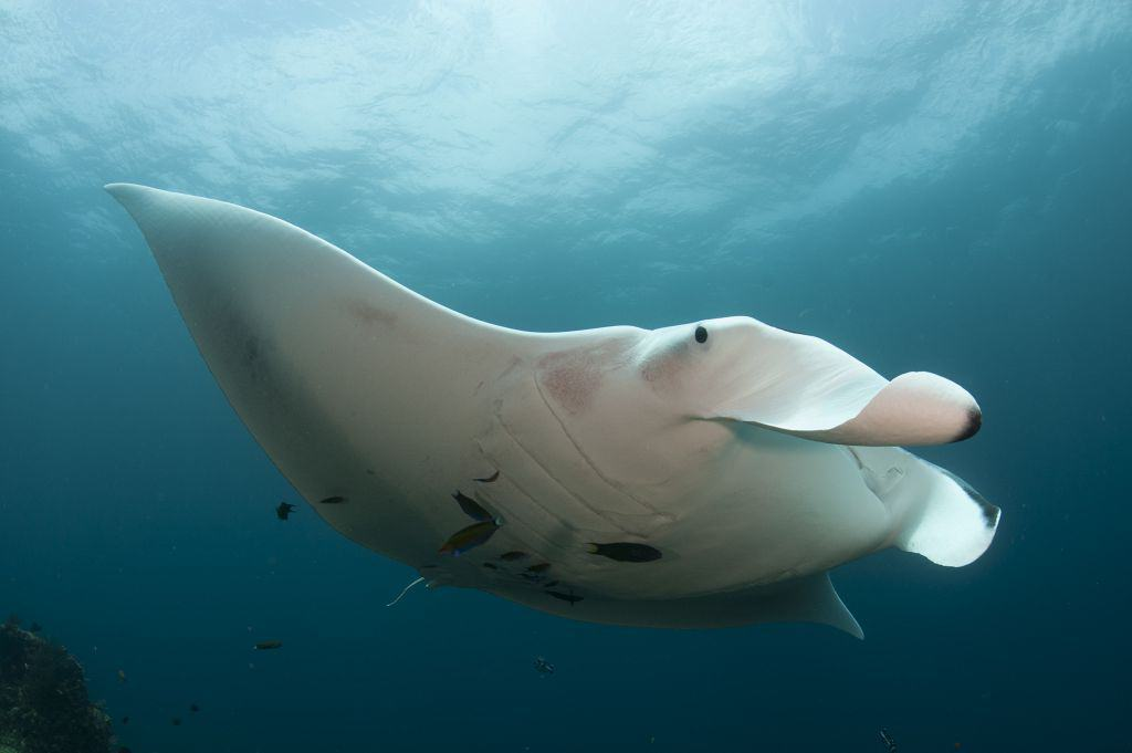 Indonesia liveaboard Diving holidays single manta ray