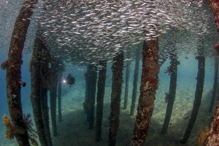 Jordan Diving holidays Aqaba Pier school of fish