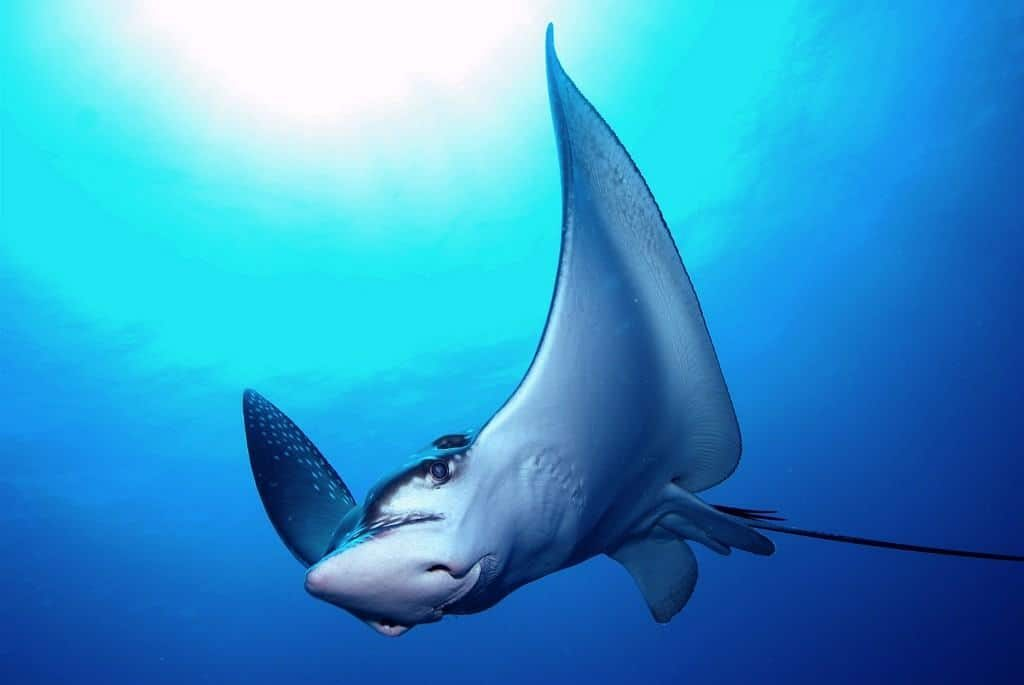 Maldives Diving Holiday Eagle Ray