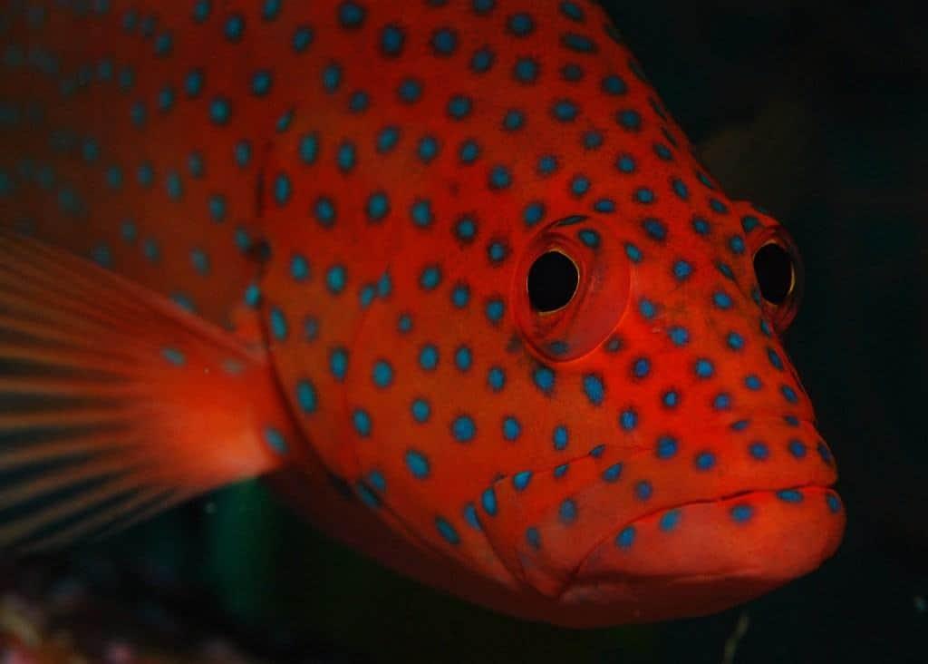 Maldives Diving Holiday Grouper