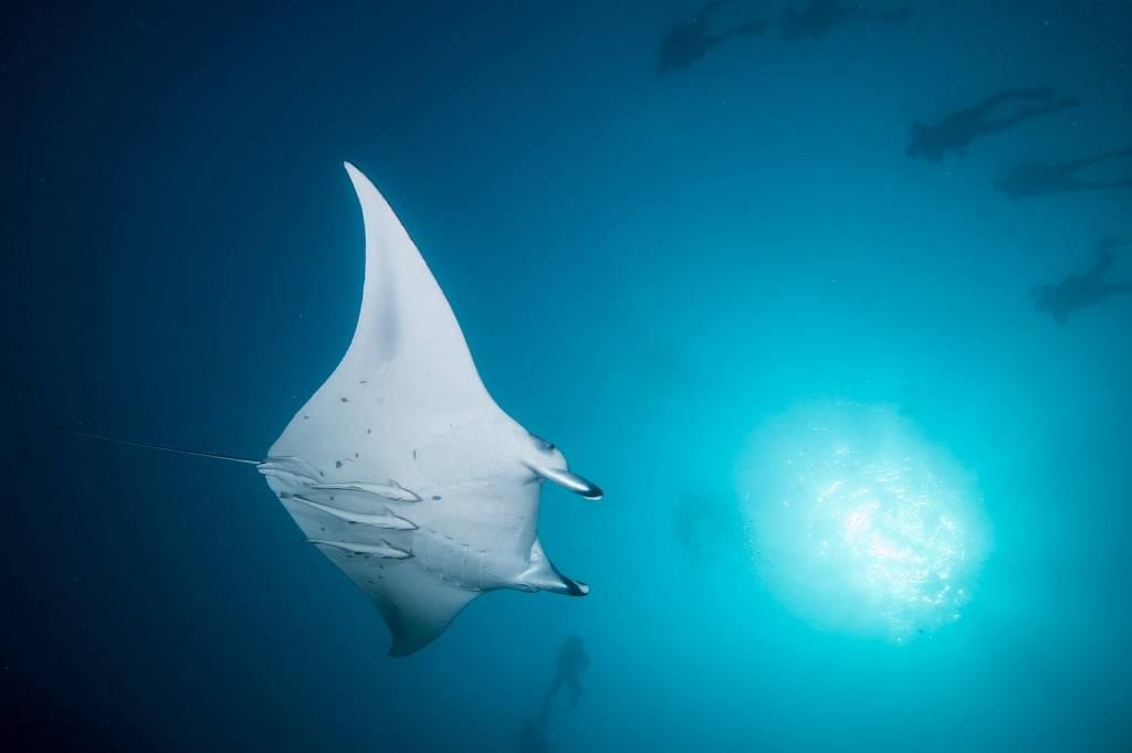 Maldives Diving Holiday Kuredu Manta Ray