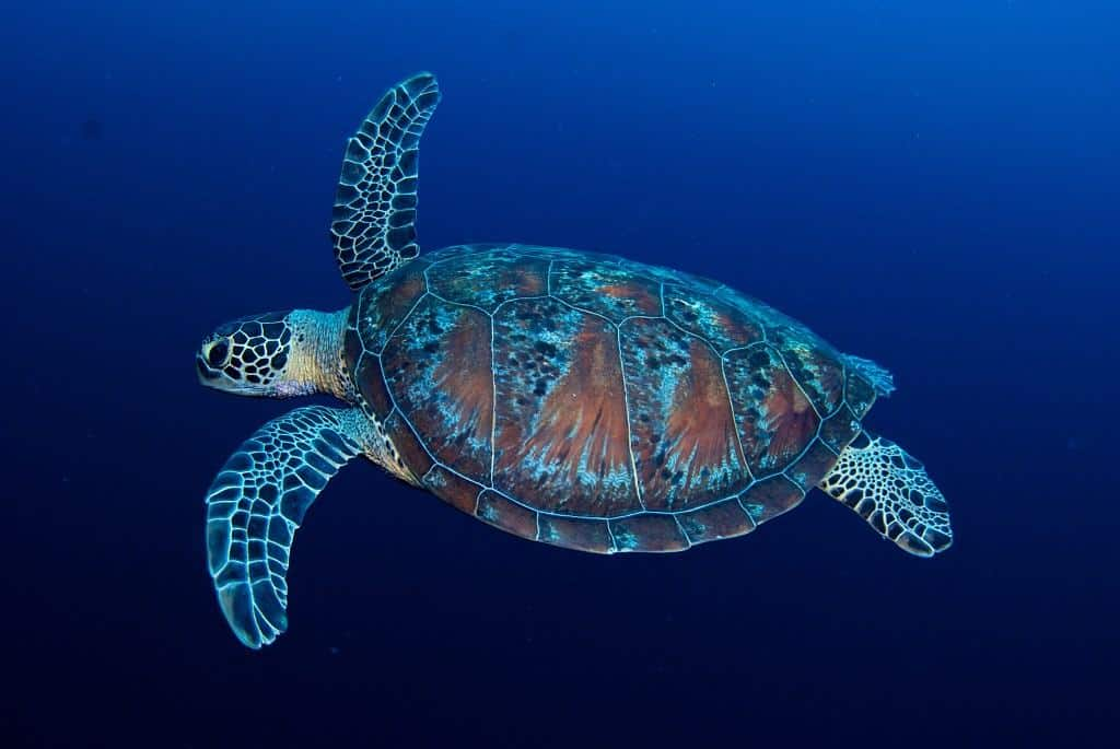 Maldives Diving Holiday Swimming Turtle