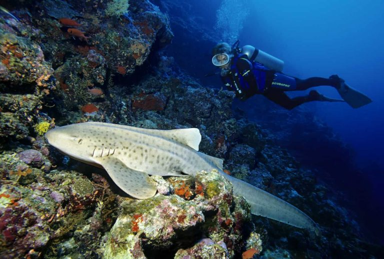 Maldives Diving Holiday Vilamendhoo Island Resort Scuba Diver Watching A Zebra Shark
