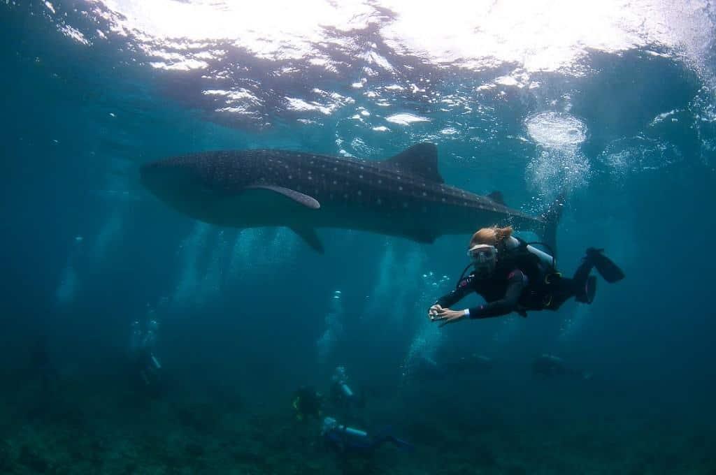 Maldives Diving holidays Diving With A Whale Shark Maamigili Outside South Ari Atoll Medium