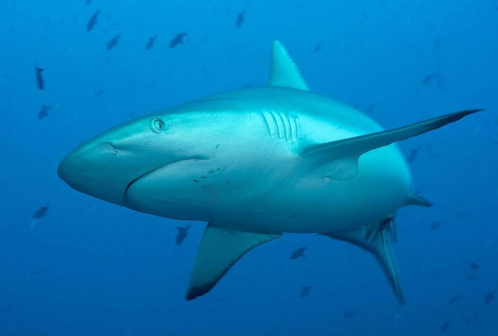 Maldives Diving holidays - Shark