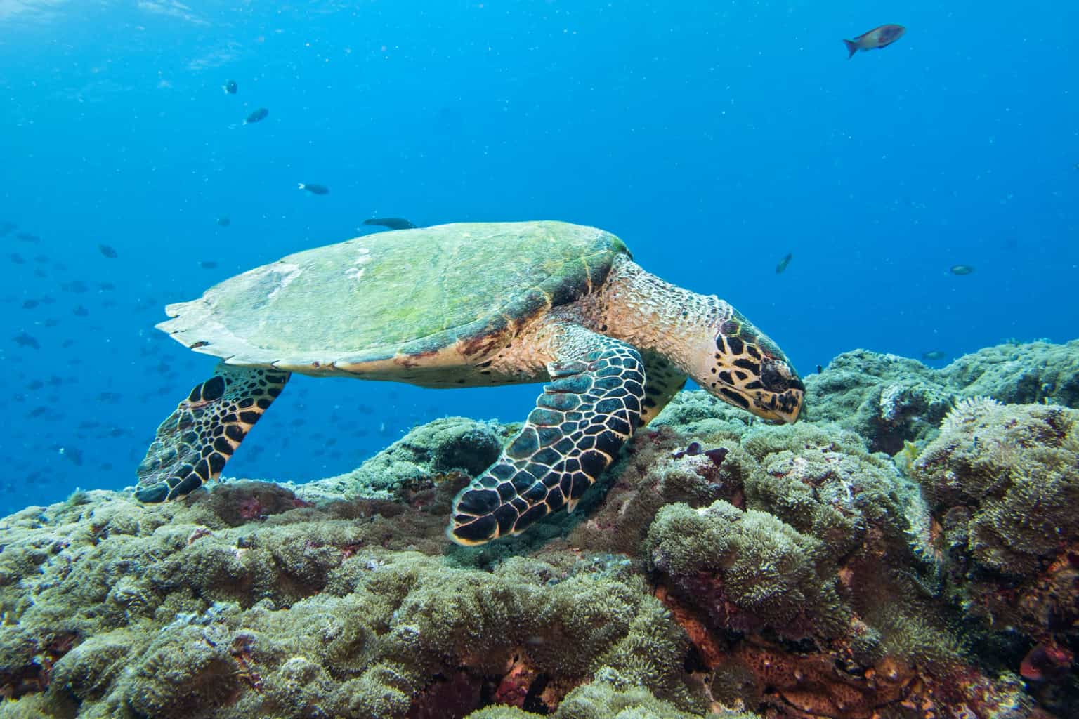 Maldives Liveaboard Holidays Emperor Serenity Hawksbill Turtle