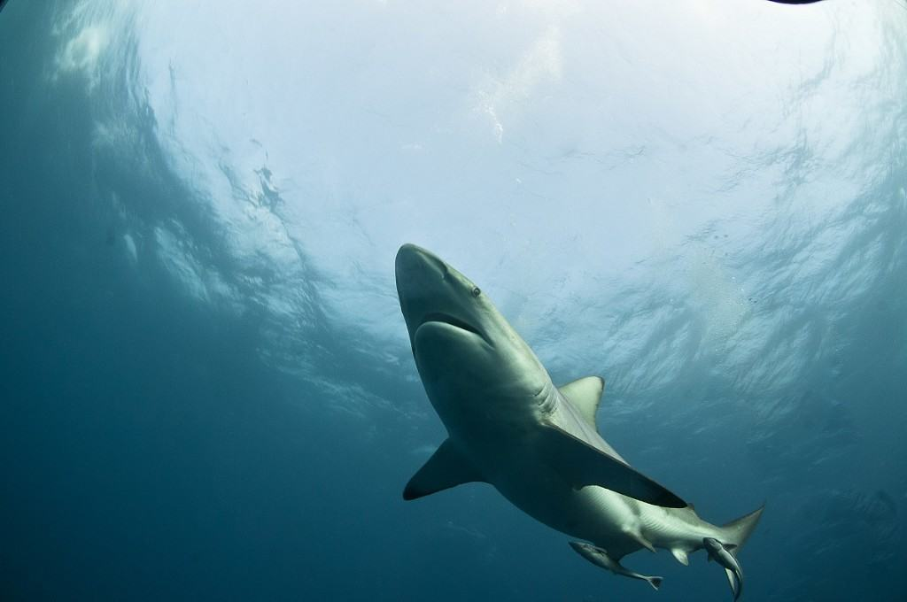 Mozambique Diving Safaris Great White Shark