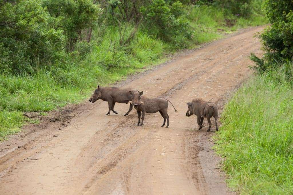 Mozambique Diving Safaris Hluhluwe Game Reserve A Family Of Warthogs