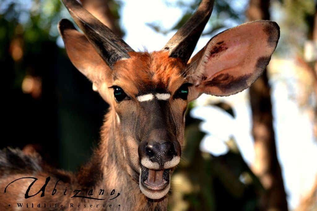 Mozambique Diving Safaris Hluhluwe Game Reserve A Nyala At Zululand Tree Lodge