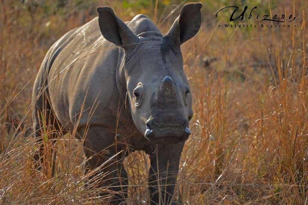 Mozambique Diving Safaris Hluhluwe Game Reserve Baby White Rhino