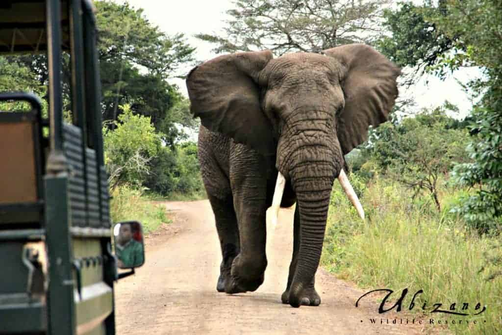 Mozambique Diving Safaris Hluhluwe Game Reserve Elephant