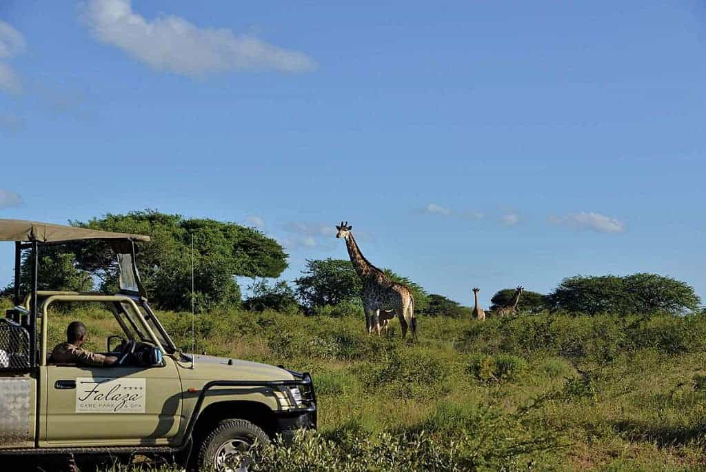 Mozambique Diving Safaris Hluhluwe Game Reserve Falaza Lodge Game Drive Giraffe