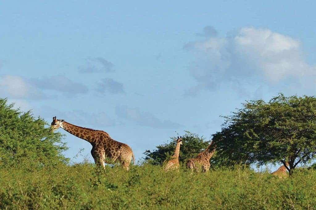 Mozambique Diving Safaris Hluhluwe Game Reserve Giraffes