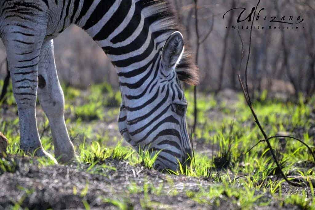 Mozambique Diving Safaris Hluhluwe Game Reserve Zebra Eating