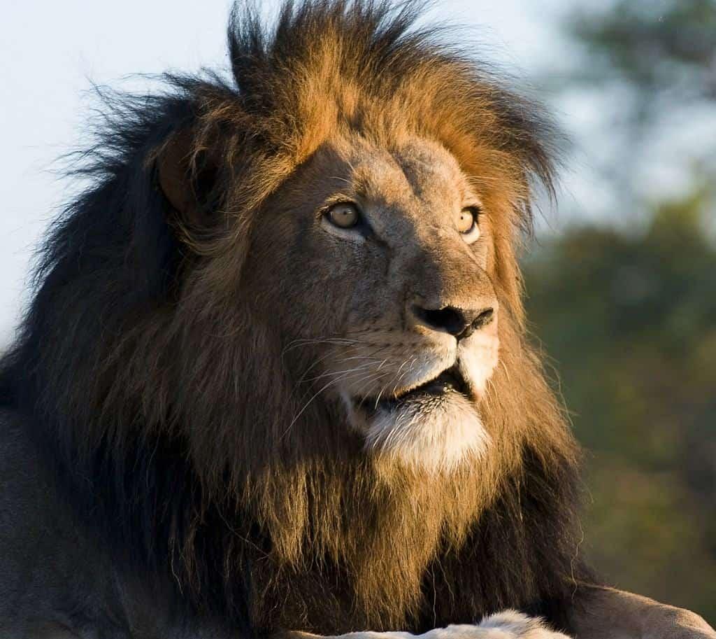 Mozambique Diving Safaris Kruger National Park On Kapama Game Drive Lion