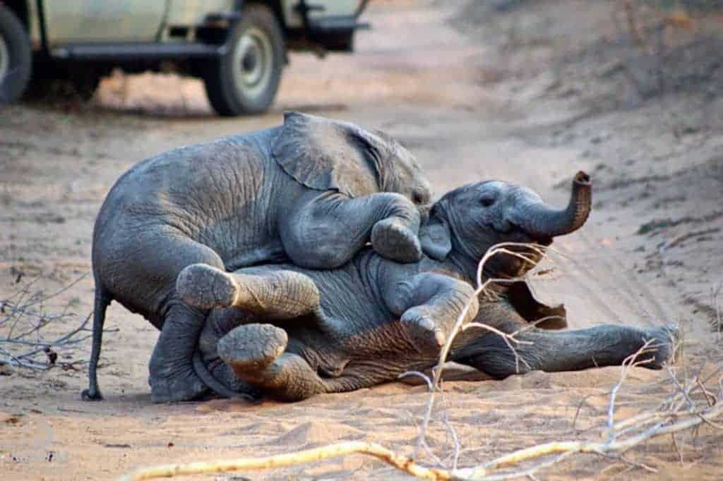 Mozambique Diving Safaris Kruger National Park On Kapama Game Drive elephants playing