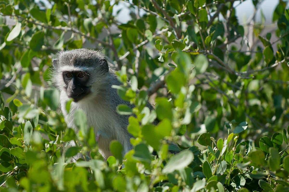 Mozambique Diving Safaris Kruger National Park monkey On Kapama Game Drive