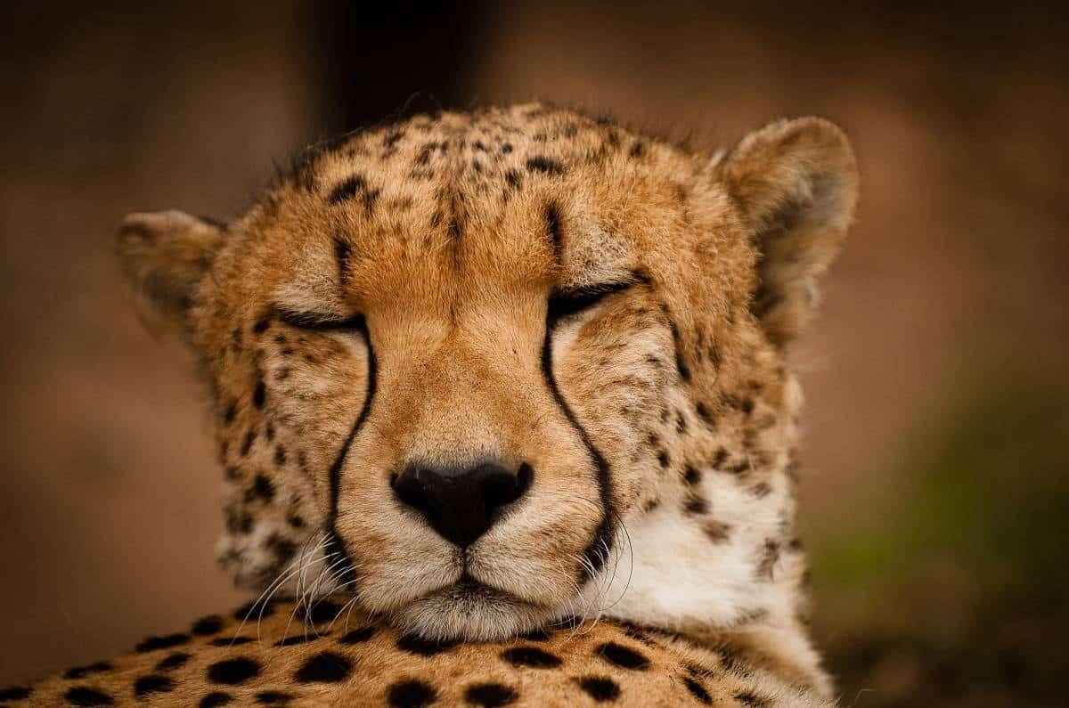 Mozambique Diving Safaris Kruger National Park sleeping leopard On Kapama Game Drive