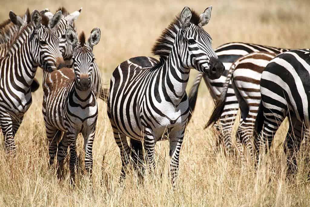Mozambique Diving Safaris Zebra