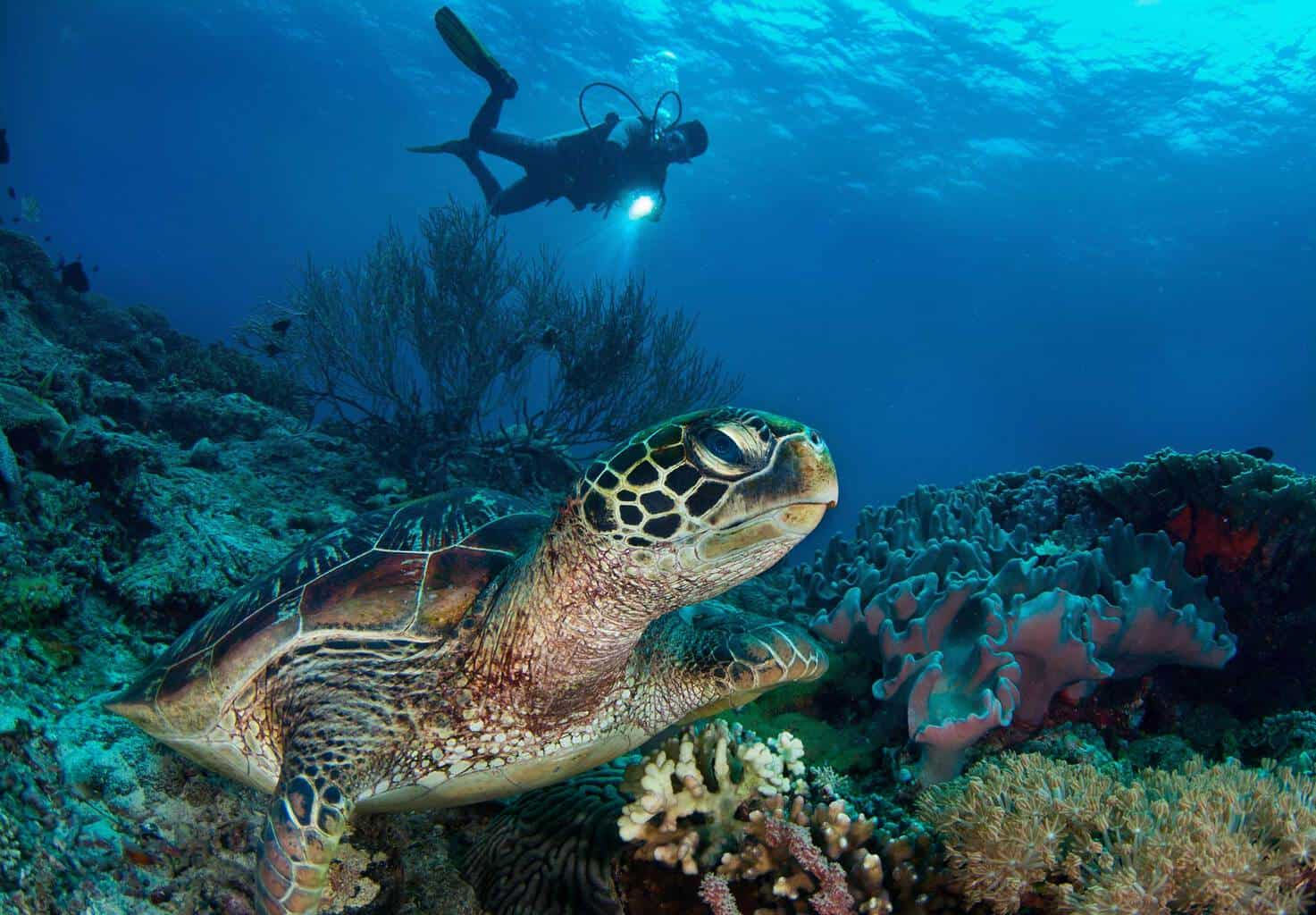 Philippines Diving holidays Atmosphere Resort Pool Diver and Turtle