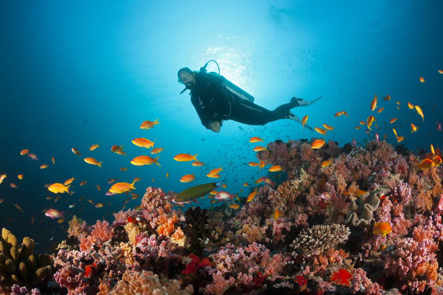Scuba Diver And Coral Fishes