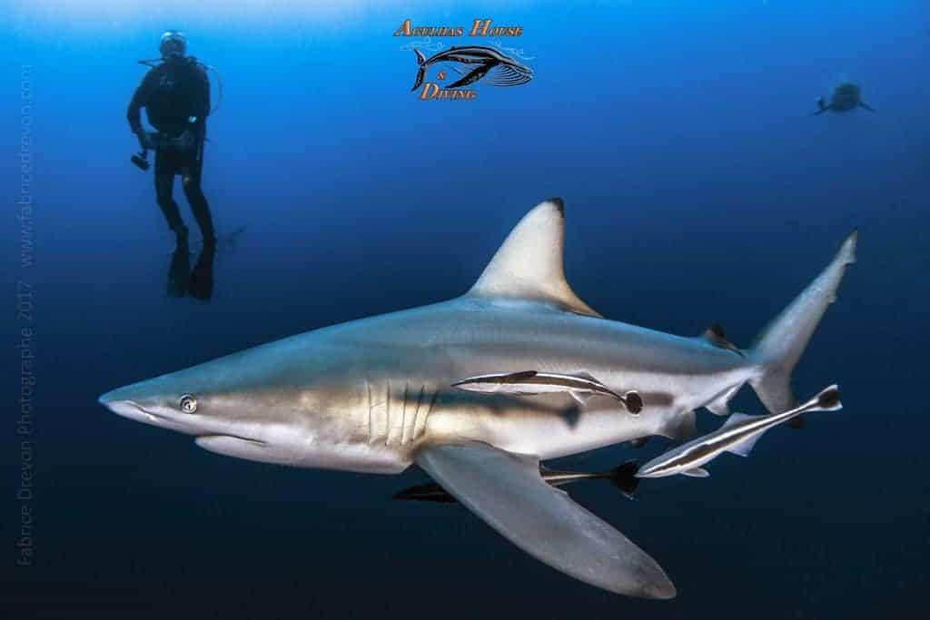 South Africa Diving Holiday Aliwal Shoal Diver and Shark
