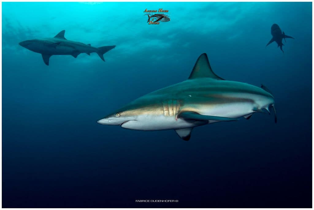 South Africa Diving Holiday Aliwal Shoal Sharks three