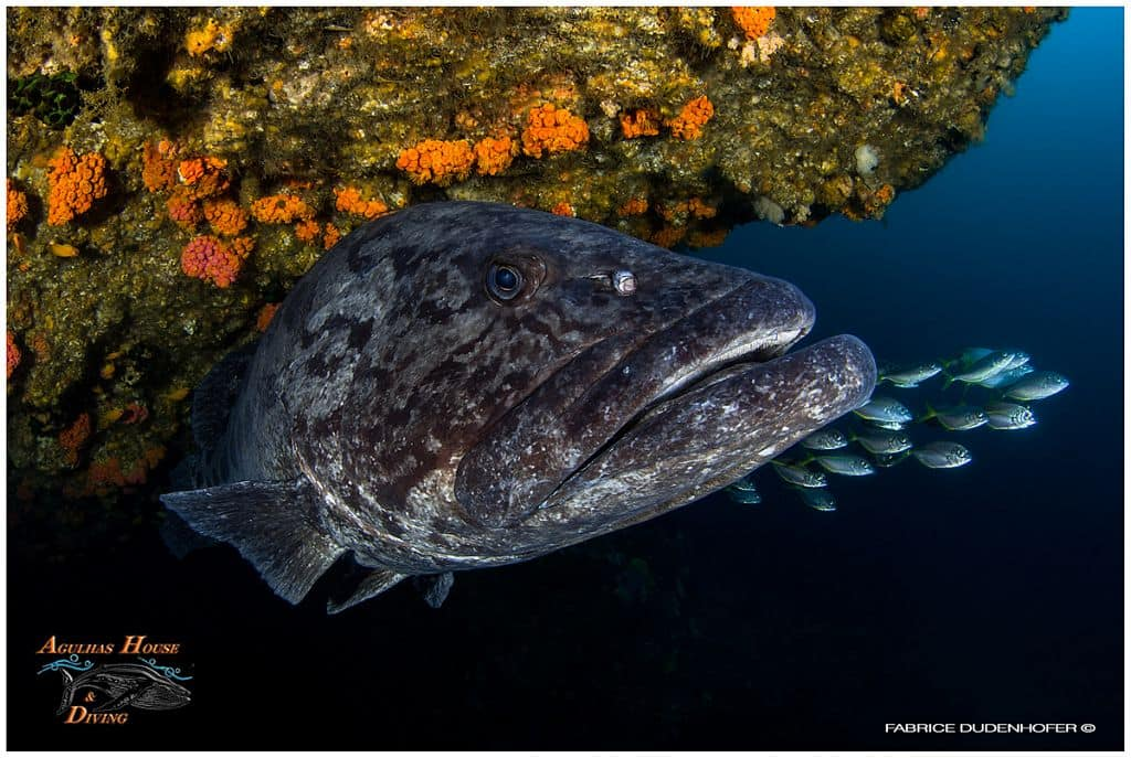 South Africa Diving Holiday Aliwal Shoal grouper