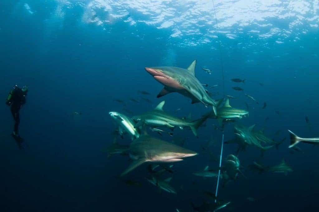 South Africa Diving Holiday Aliwal Shoal sharks baited and diver