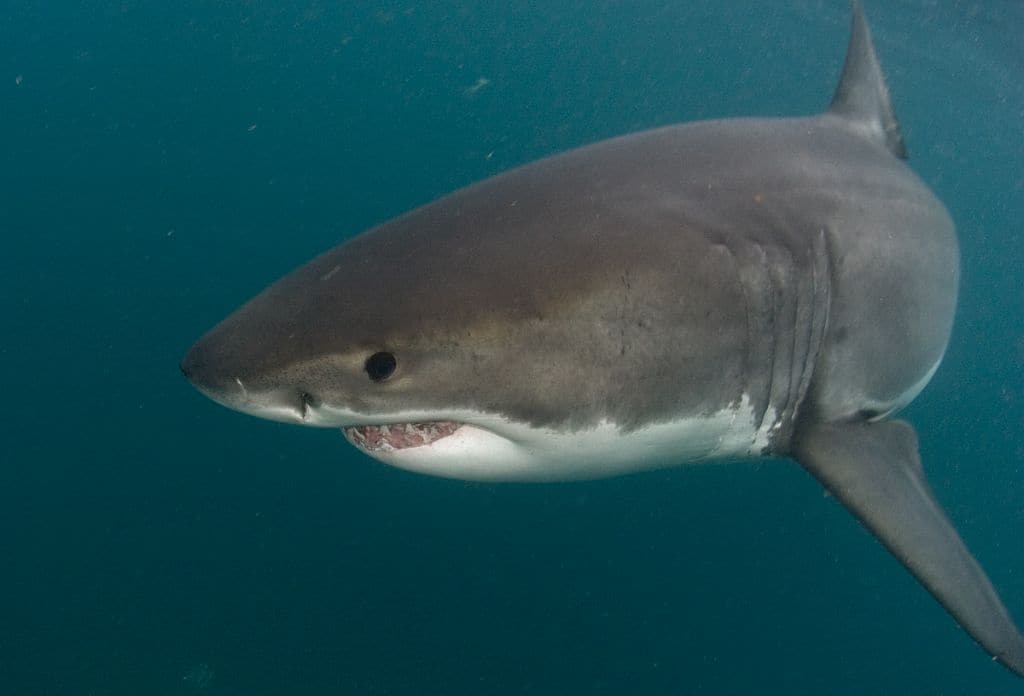 South Africa Diving Holiday Cape Town Great White Cage Diving Close Personal