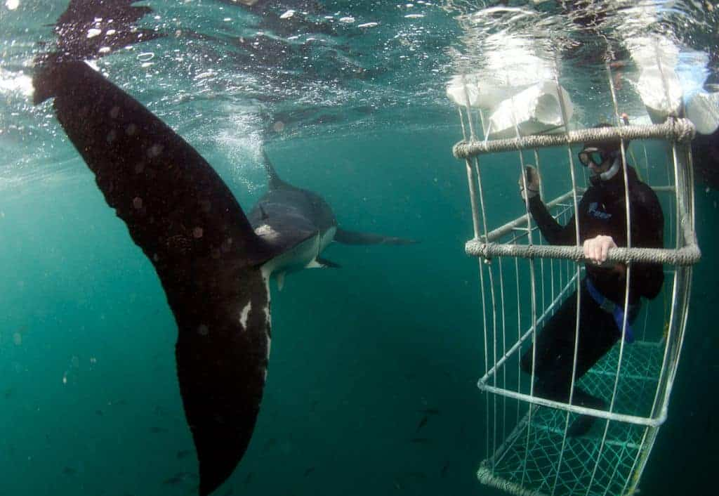 South Africa Diving Holiday Cape Town Great White Shark Great White Cage GW Cage Diving GWT