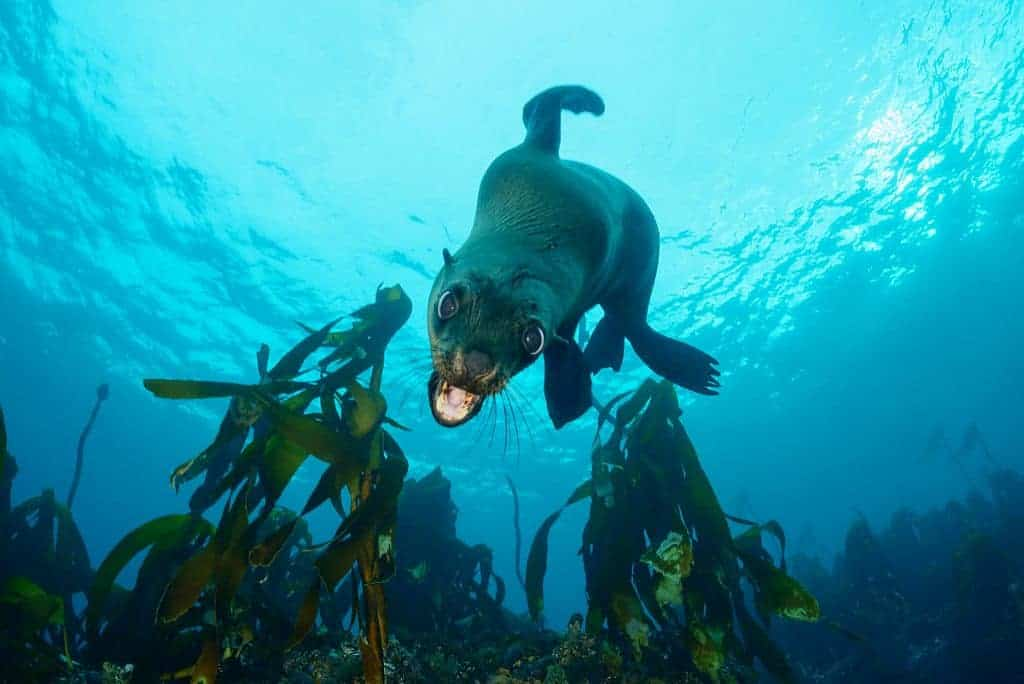South Africa Diving Holiday Cape Town Great White Shark Pisces Divers Seal