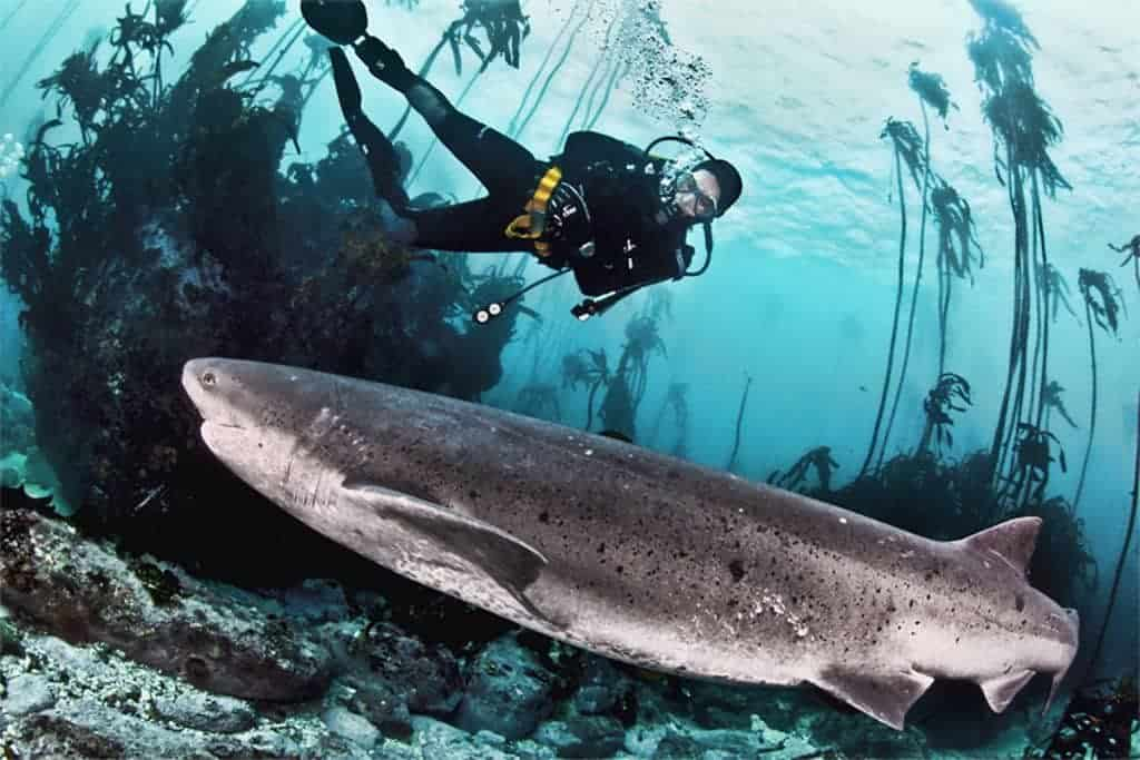 South Africa Diving Holiday Cape Town Great White Shark Pisces Divers Shark and Diver