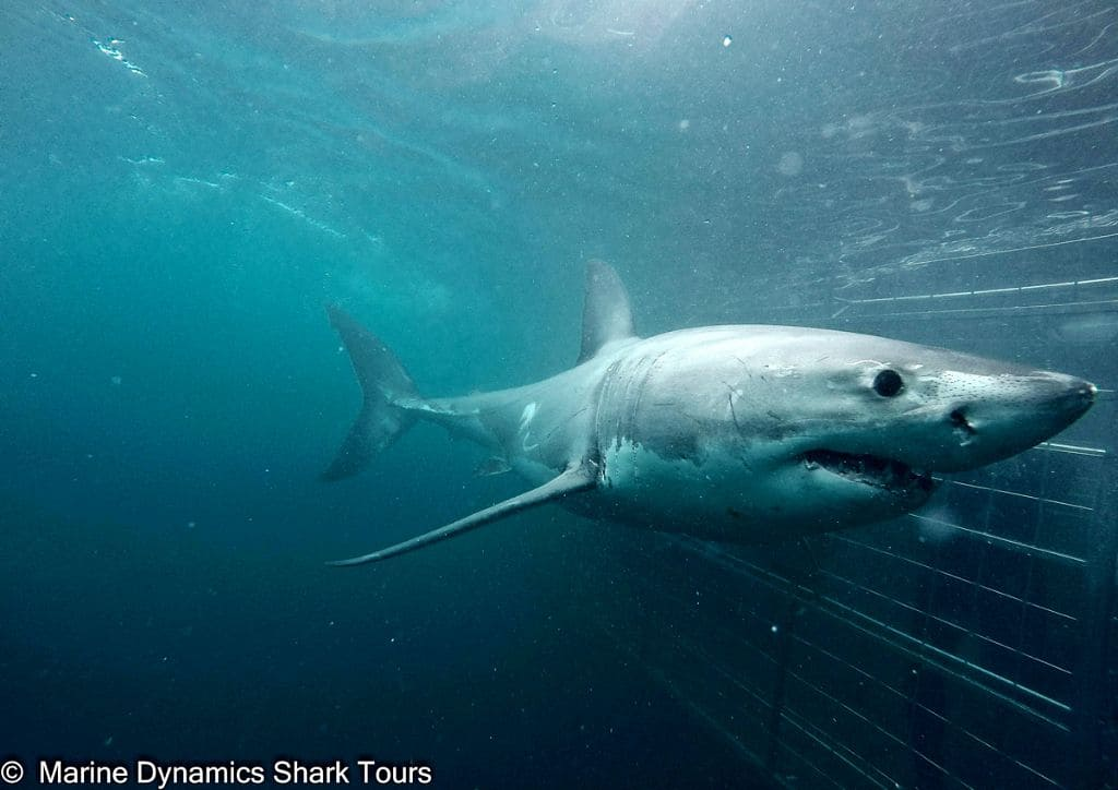 South Africa Diving Holidays Gansbaai Great White Sharks Cage
