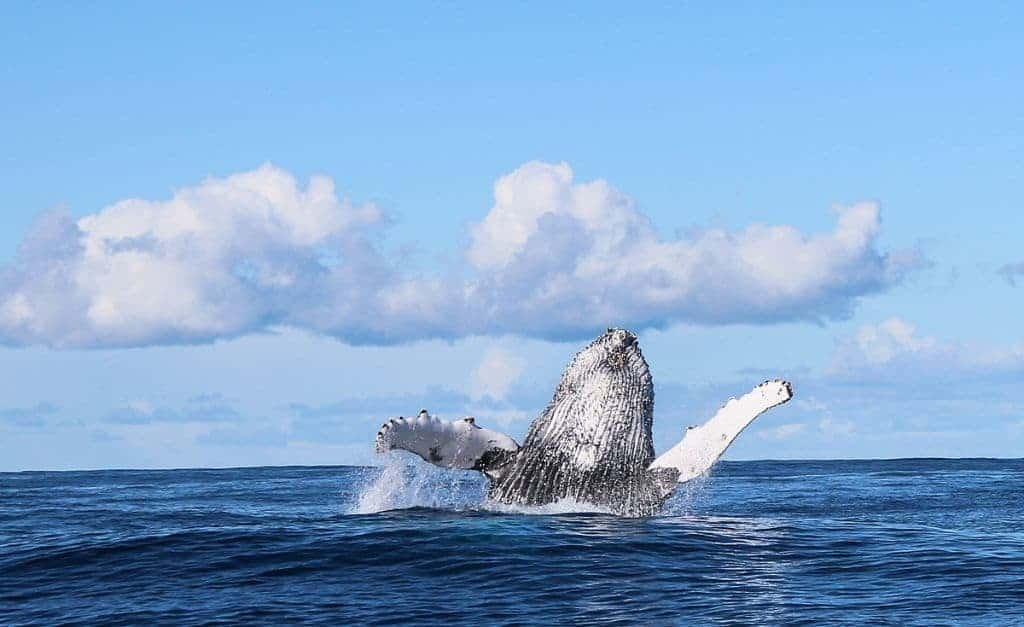 South Africa Diving Holidays Gansbaai Great White Sharks Cape Humpback Whale Breaching2