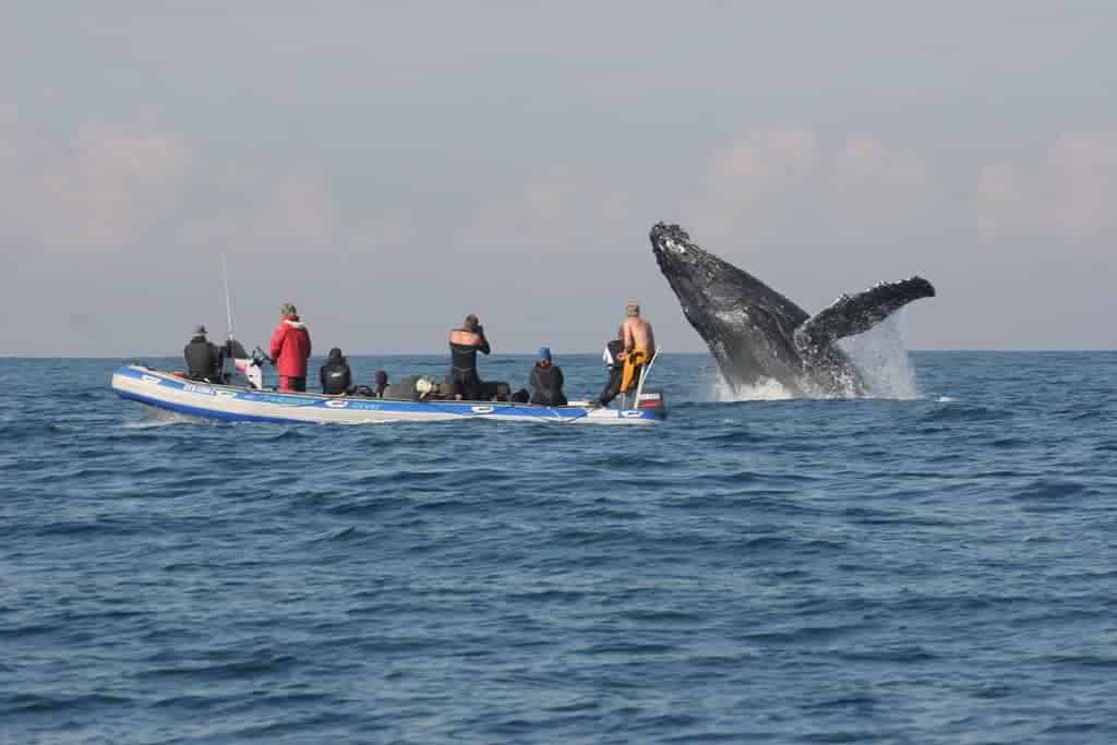 South Africa Diving Holidays Sardine Run whale breaching and dive boat